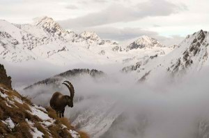 Alpine Ibex will it be extinct